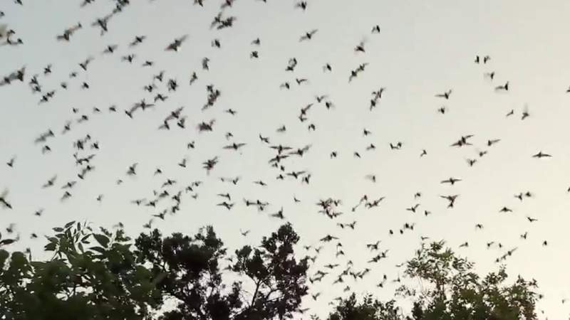 World's largest bat colony located just outside San Antonio