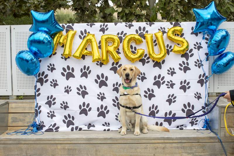 Marcus - the new facility dog and member of the PUPPYatrics Program at Children's Hospital of San Antonio.