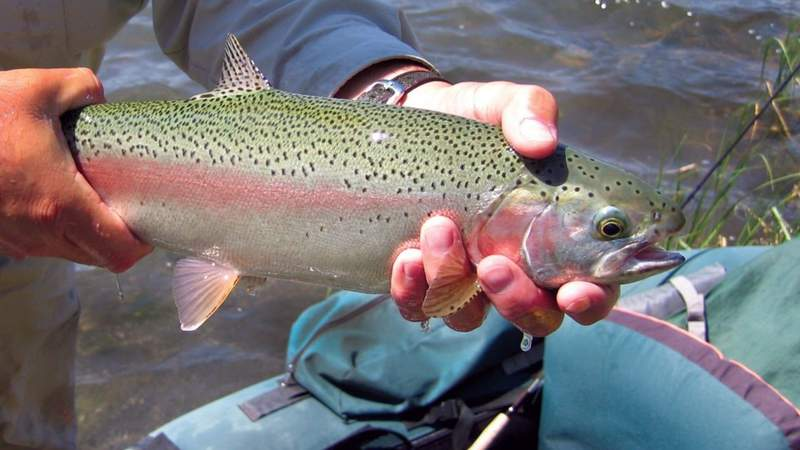 GF Default - More than 20,000 rainbow trout to be stocked in New Braunfels