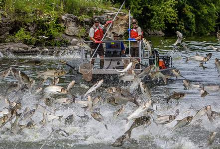 Silver carp are known for leaping out of the water when startled (e.g., by noises such as a boat motor).