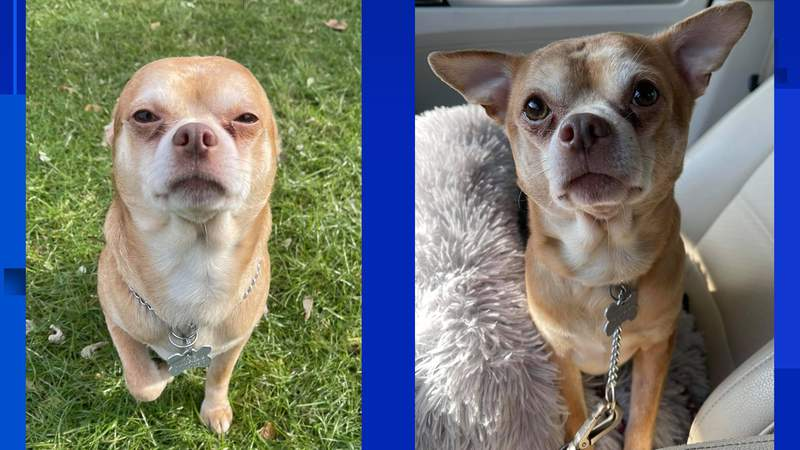 """An adoption ad on social media for 2-year-old Prancer, the """"demonic"""" chihuahua, is going viral this week after his foster mom wrote a brutally honest description on what his adopters can expect."""