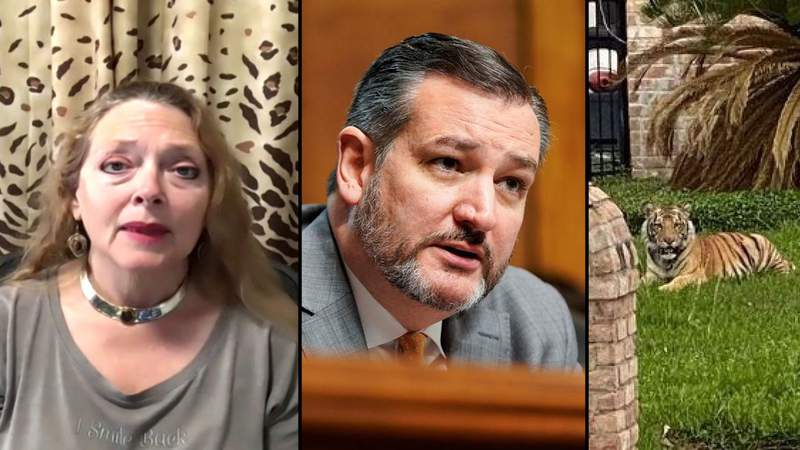 Carole Baskin is pictured on the left, Texas Senator Ted Cruz is in the middle and a tiger spotted in Houston on May 9 is seen on the right.