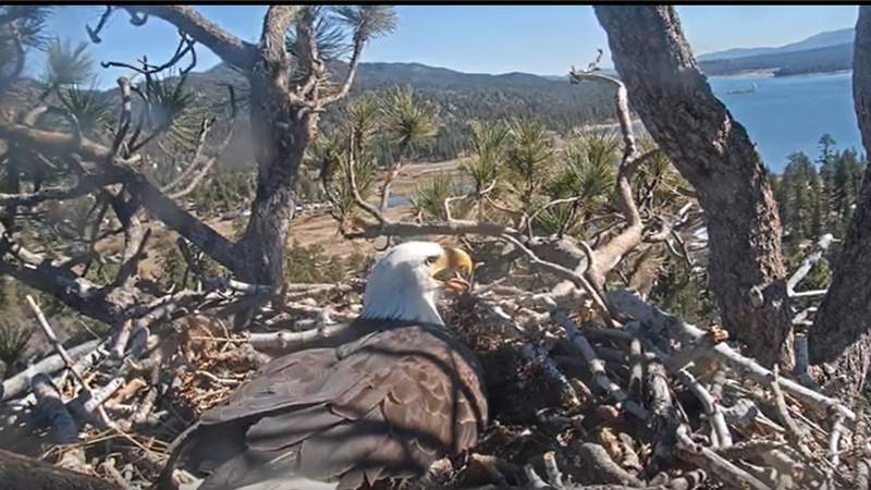 Bald Eagle Cam from Big Bear Valley - Hosted by friends of Big Bear Valley