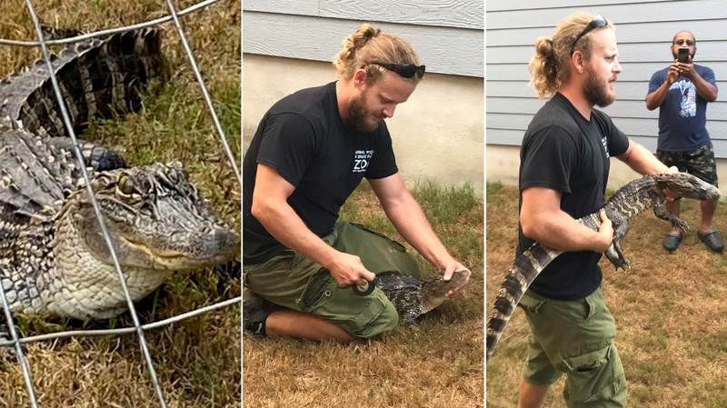 A 5-foot-long alligator was spotted outside a house near Foster Road and U.S Hwy 87 on Tuesday, Aug. 4, 2020. Photo: ACS