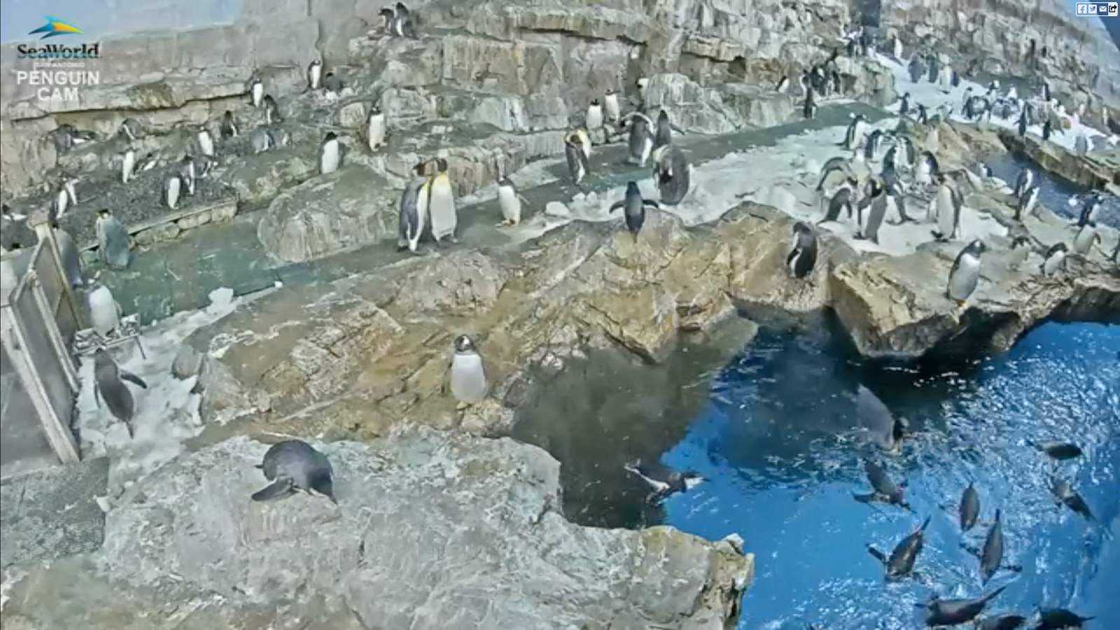Penguin Cam: Chill with the penguins at SeaWorld San Antonio with 24/7 livestream