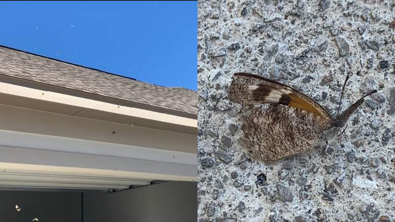 """The annual migration of the American snout, or """"snout nose butterfly,"""" can create a mess on the hood of your car."""