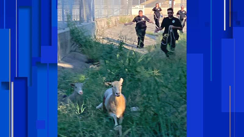 Two sheep got themselves into a baaaaaad situation in San Antonio after jumping a retaining wall and running along an area highway, according to San Antonio Animal Care Services.
