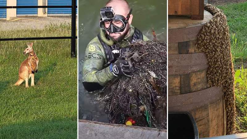 A kangaroo in Boerne, a YouTuber diving in the San Antonio River and a swarm of bees all made headlines in San Antonio in June 2021.