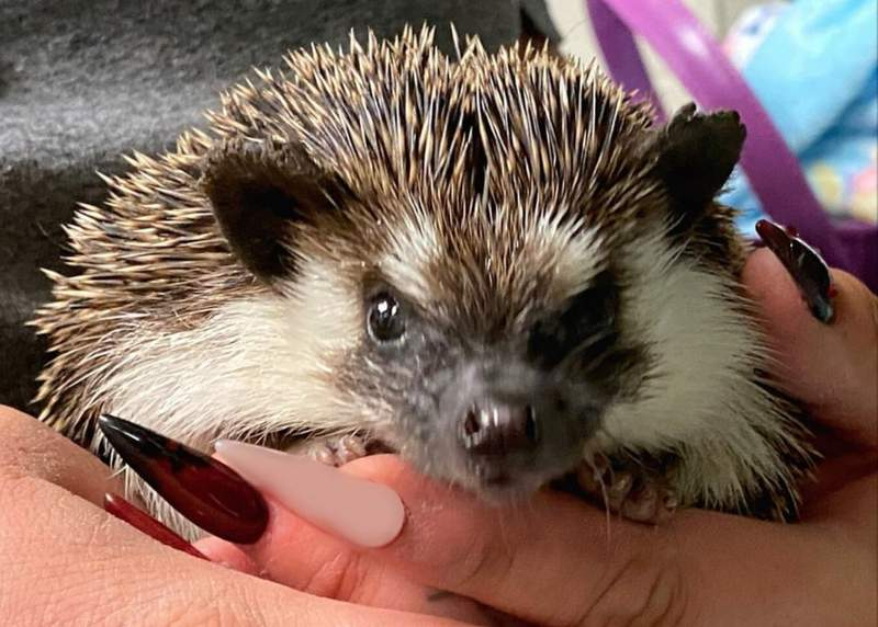 """""""Sonic"""" the hedgehog has found a new place to call home in San Antonio."""