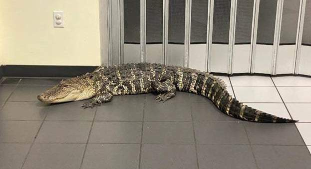 An alligator was found inside the Spring Hill Post Office in Florida's Hernando County, according to the sheriff's office. Image: Hernando County Sheriff's Office