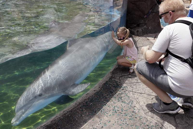 Guests watch a dolphin swims in a transparent pool at SeaWorld as it reopened with new safety measures in place, Thursday, June 11, 2020, in Orlando, Fla. The park had been closed since mid-March to stop the spread of the new coronavirus. (AP Photo/John Raoux)
