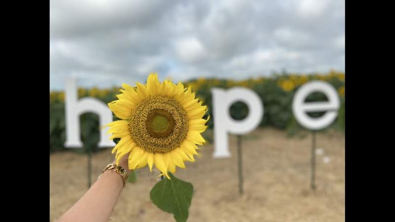 Sunflower field in San Antonio honors fighters, survivors of cancer