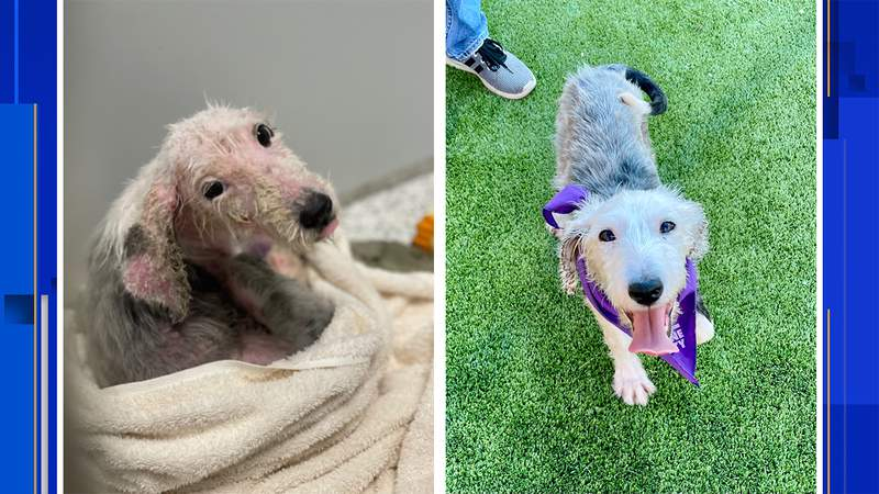 Denali before recovery from mange and after