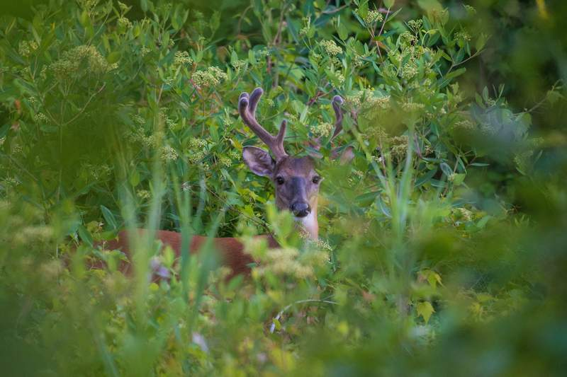 A deer is seen in Liberty State Park on June 24, 2021 in Jersey City, New Jersey. (Photo by Angela Weiss / AFP) (Photo by ANGELA WEISS/AFP via Getty Images)