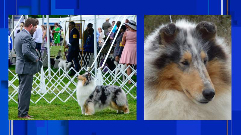 """""""Fannie,"""" a rough collie from Boerne, won Best in Variety at the 145th Westminster Kennel Club Dog show this weekend, according to her owners."""