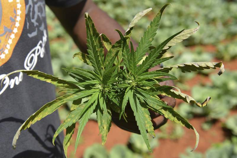FILE - In this Aug. 29, 2013 file photo, farmer Breezy shows off the distinctive leaves of a marijuana plant during a tour of his plantation in Jamaica's central mountain town of Nine Mile. While the island has a regulated medical marijuana industry and decriminalized small amounts of weed in 2015, it is running low on the illegal market, due to heavy heavy rains followed by extended drought, an increase in consumption and a drop in the number of traditional marijuana farmers.  (AP Photo/David McFadden, File)