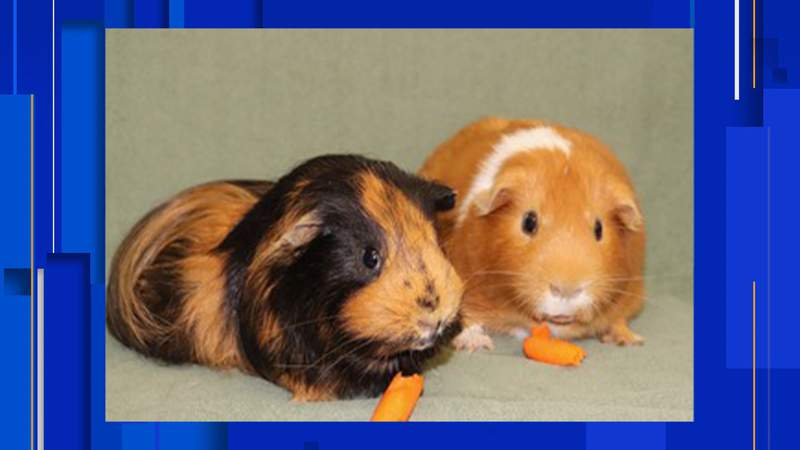 Harry and Ron are available for adoption at Second Chance Cavy Rescue, 1354 Basse Road, in San Antonio
