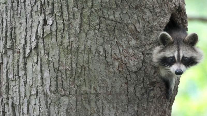 Generic image of a raccoon.