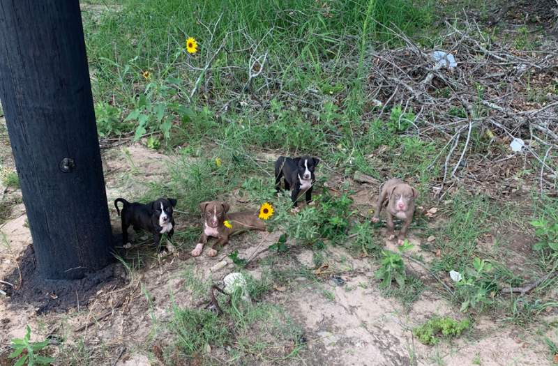 A search is underway for a suspect accused of dumping several puppies on the side of the road near a Dollar General in Poteet, according to Atascosa County Animal Control.