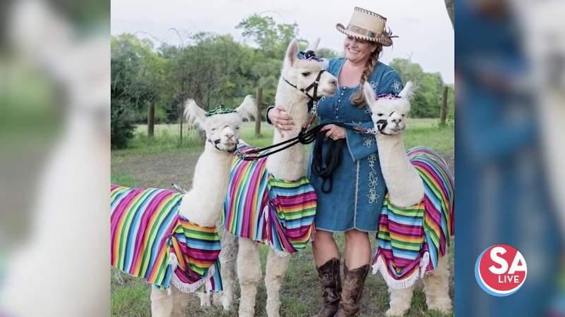 Alpaca playdates help bring smiles during COVID pandemic | SA Live | KSAT 12