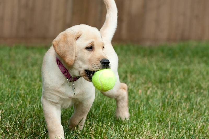 Close up of a yellow labrador puppy playing with a green tennis ball in the grass outdoors.