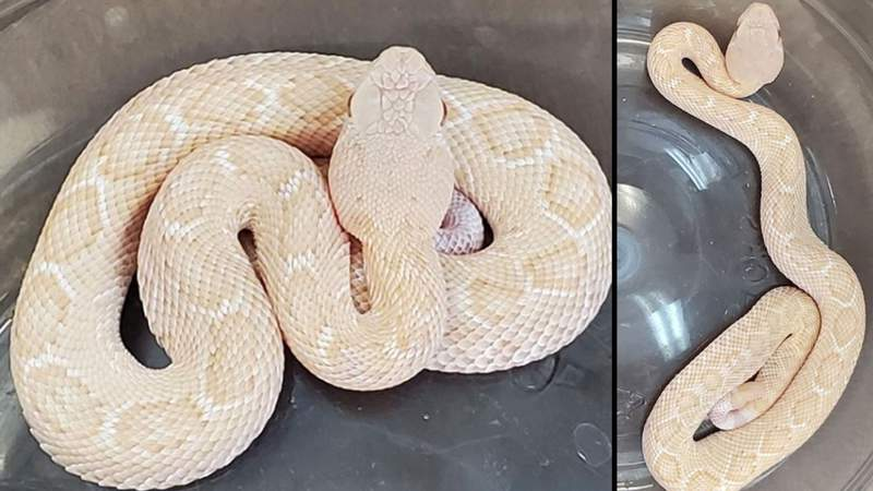 This rare albino Western Diamondback rattlesnake was found on a Hill Country ranch.