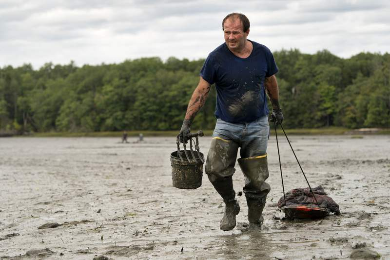 FILE -  In this Sept. 3, 2020 file photo, clamdigger Mike Soule hauls bags of clams on a sled across a mudflat in Freeport, Maine. More New Englanders have dug in the tidal mudflats during the last year, but they're finding fewer clams. The coronavirus pandemic has inspired more people in the Northeastern states to dig for the soft-shell clams. (AP Photo/Robert F. Bukaty, File)