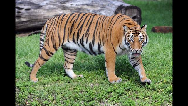 Courtesy: Zoo Miami Editor's note: This is a file photo of a Malayan tiger and not the actual tiger that was infected at the Bronx Zoo.