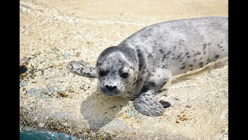 It's a seal! SeaWorld San Antonio celebrates newborn harbor seal pup
