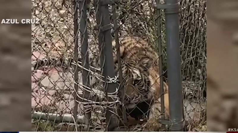 ACS is warning against having tigers in the city after one was found in someone's backyard.