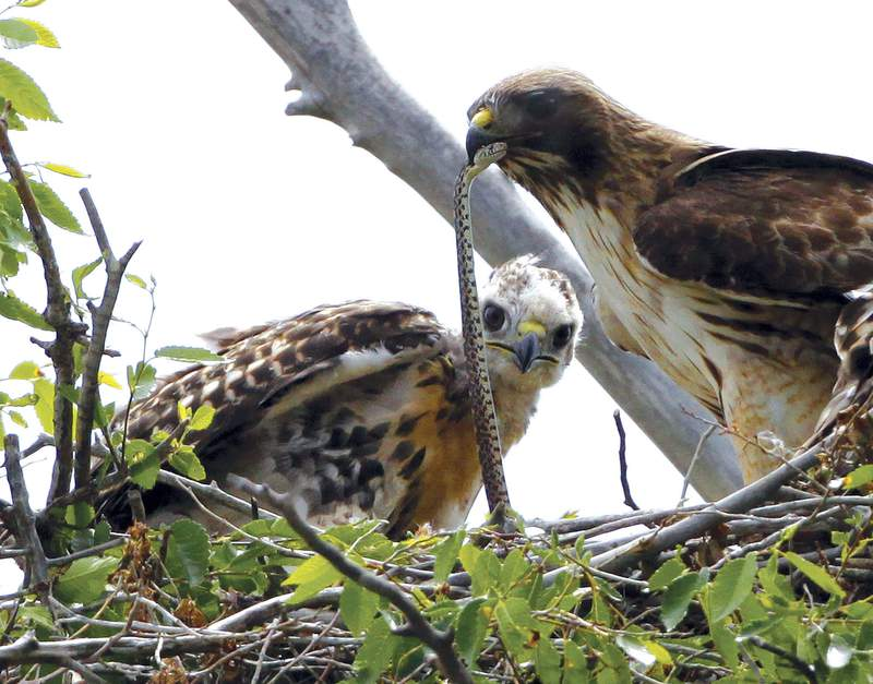 FILE - This June 5, 2009, file photo shows a Redtail hawk feeding a snake to one of her young ones nested at the Rocky Mountain Wildlife Refuge in Commerce City, Colo. The Trump administration moved forward Friday, Nov. 27, 2020, on gutting a longstanding federal protection for the nation's birds, over objections from former federal officials and many scientists that billions more birds will likely perish as a result. (AP Photo/Ed Andrieski, File)
