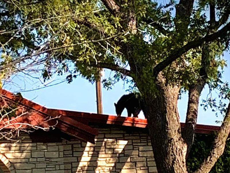 Last Sunday, Texas Parks and Wildlife officials said a game warden was called to a report of a black bear on someone's roof in Sanderson, Texas. (Credit: Texas Parks and Wildlife Facebook)