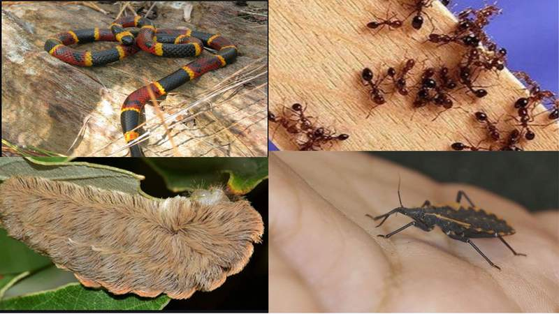 Coral snake, fire ants, flannel moth, kissing bug