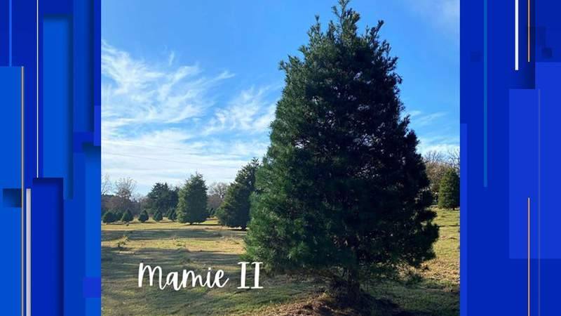 Mamie II - the Texas state capitol Christmas tree for 2020.