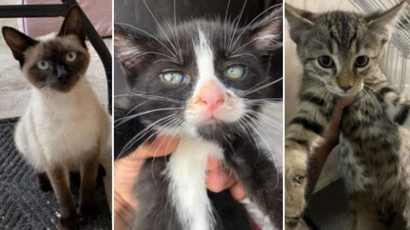 Kittens available for adoption at San Antonio's Animal Care Services.