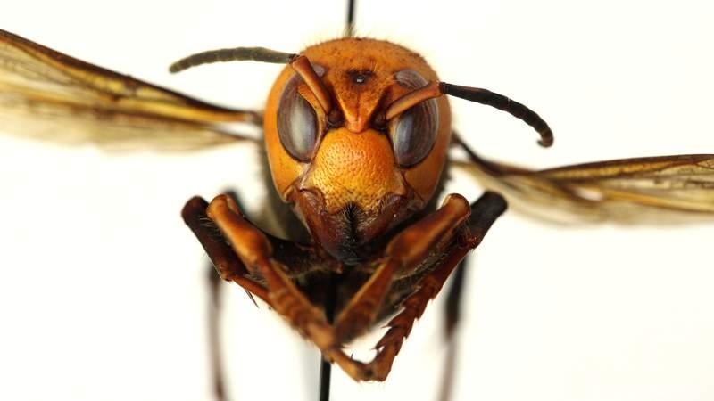 Understand: What are murder hornets?