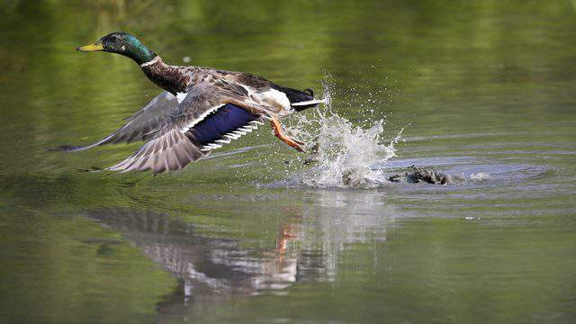 A mallard duck takes to flight after feeding in a small pond, Thursday, July 10, 2014, at Water Works Park in Des Moines, Iowa. (AP Photo/Charlie Neibergall)