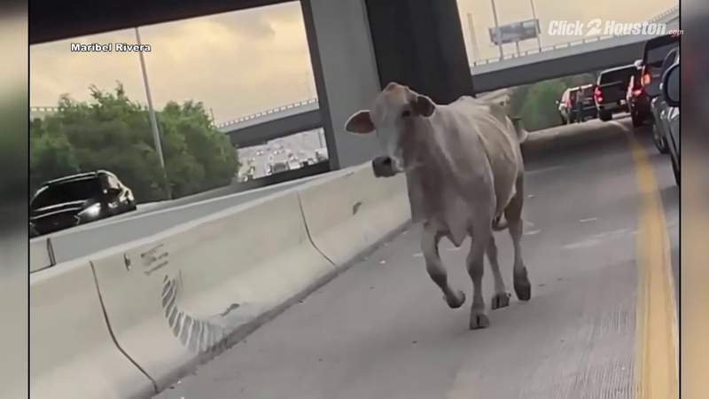 Authorities wrangle escaped cow near I-10 East Freeway and Beltway 8