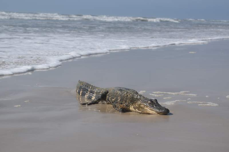 A young American alligator was found on the Padre Island National Seashore on Monday, May 24, 2021. NPS Photo