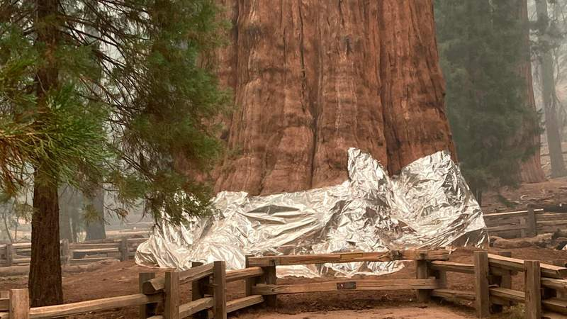 This photo provided by the Southern Area Blue Incident Management Team on Thursday, Sept. 16, 2021, shows the giant sequoia known as the General Sherman Tree with its base wrapped in a fire-resistant blanket to protect it from the intense heat of approaching wildfires at Sequoia National Forest in California.