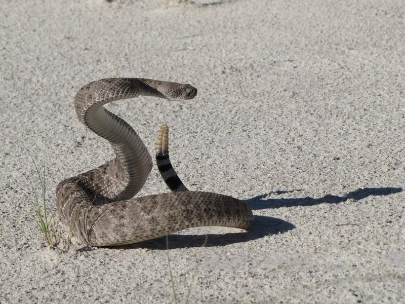 SA Live celebrates World Snake Day. (Pictured: Western Diamondback Rattlesnake)