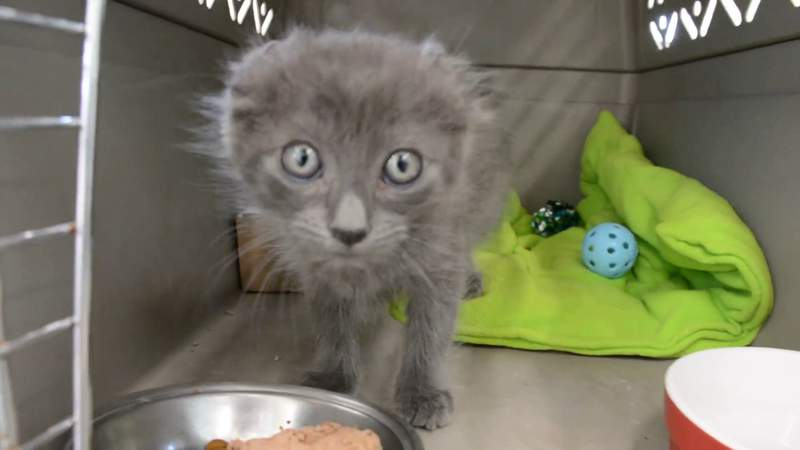 Kitten with ears, tail cut off found abandoned at car dealership, San Antonio shelter says