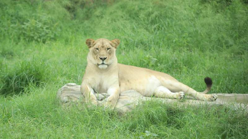 The San Antonio Zoo's African lions will be among the first animals to receive COVID-19 vaccinations along with Sumatran tigers, white-cheeked gibbons, and Francois langur.