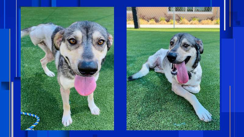 Shelby, a 1-year-old Shepherd mix, was rescued and brought to the San Antonio Humane Society on March 22 in bad shape, according to staff members.