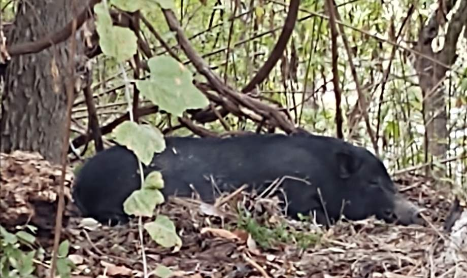 Is it a bear? A feral hog? San Antonio police find quite an unexpected animal near park trails