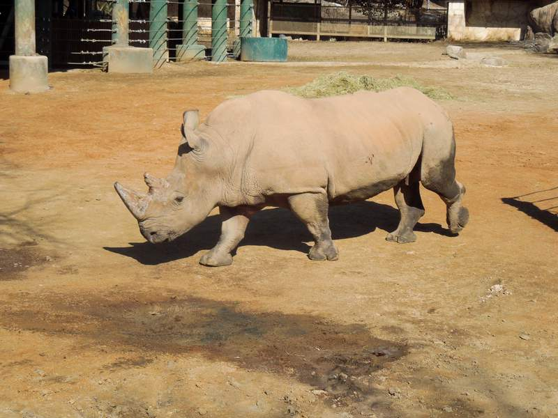 Courtesy - San Antonio Zoo New rhino named Stormy will now call the San Antonio Zoo home.