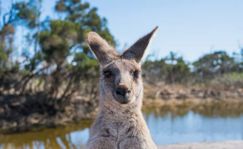 Kangaroo (stock image)