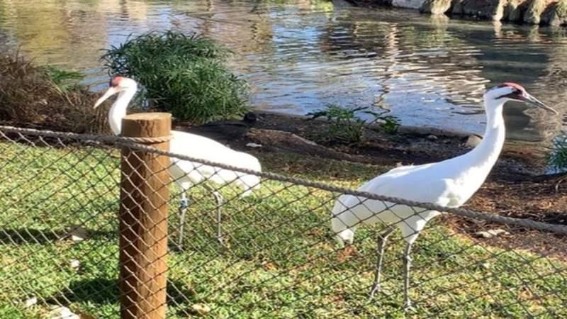 Take a closer look at the new whooping crane habitat at the San Antonio Zoo