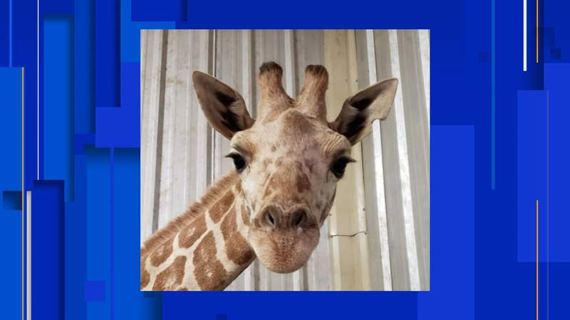 April the Giraffe's most recent calf, Azizi, has unexpectedly passed away, according to the East Texas Zoo and Gator Park.