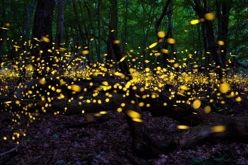 Fireflies seen at the Cibolo Nature Center. Image: Cibolo Center for Conservation.